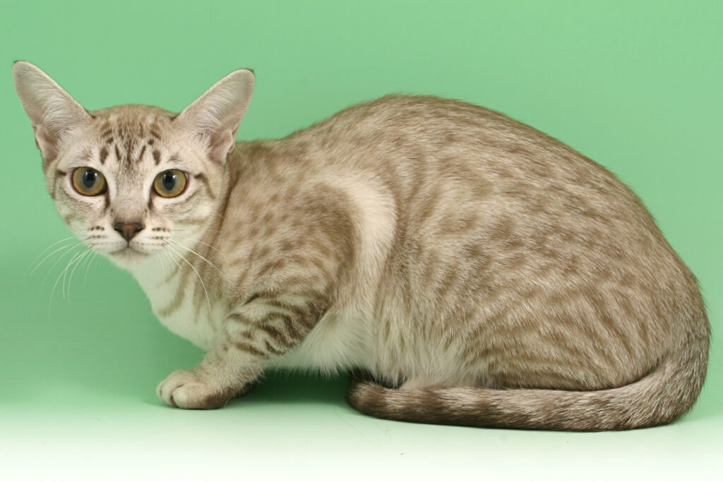 Asian Spotted Tabby