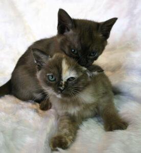 Asian kittens